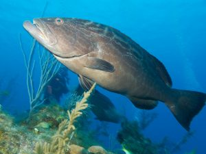 Florida Grouper | Grouper Fishing Regulations In The Florida Keys And Key West